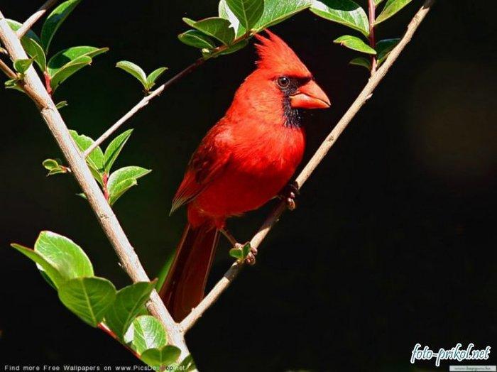 Хохолок, животные, красное, птицы, чёрное 1400х1050