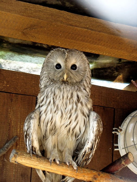 4329935_owl (525x700, 322Kb)
