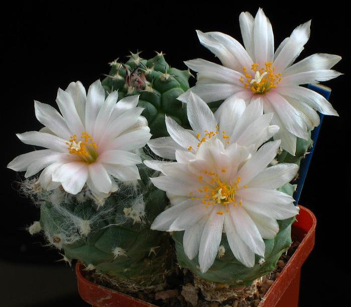 1301397976_turbinicarpus_lophophoroides_img_1775 (700x611, 54Kb)