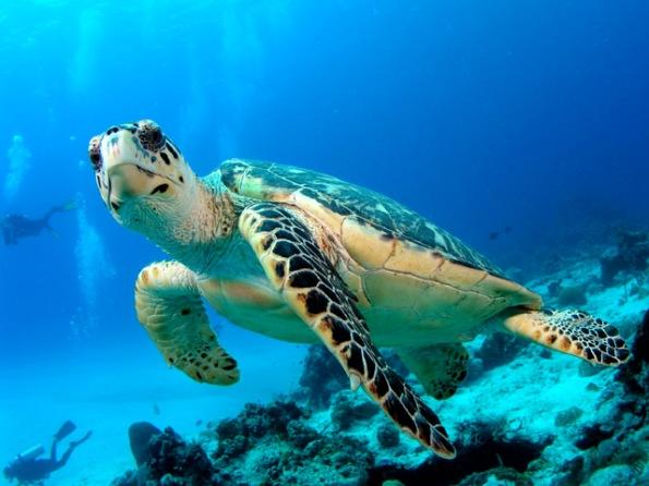морская черепаха в воде (595x446, 80Kb)