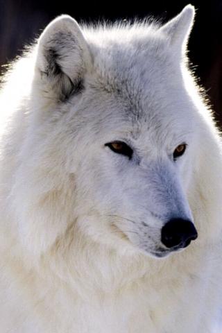Arctic_Wolf_-_Canada (320x480, 101Kb)