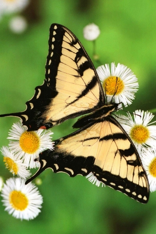 Butterfly_-_Tiger_Swallowtail (320x480, 140Kb)