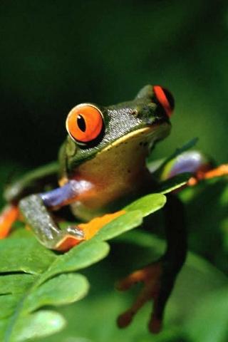 Frog (320x480, 91Kb)