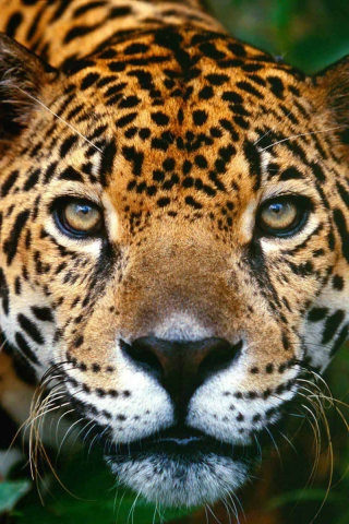Jaguar,_Brasilia (320x480, 175Kb)