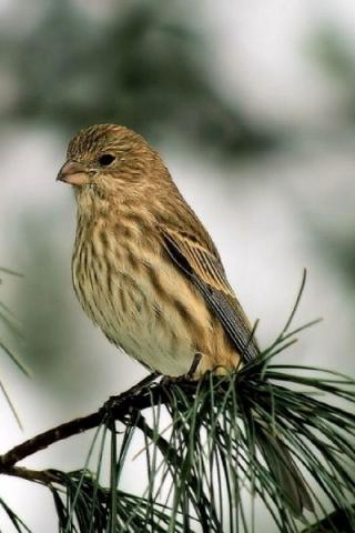 Sparrow (320x480, 107Kb)