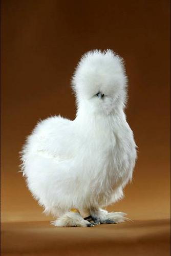 74889785_4278666_3127506668_d8f64d5e2c_chicken3_M (334x500, 48Kb)