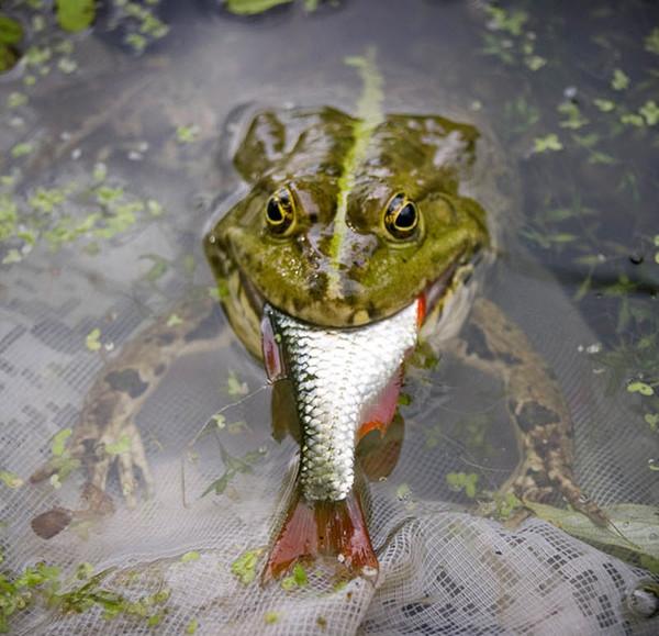 жаба рыбу съела (600x579, 105Kb)