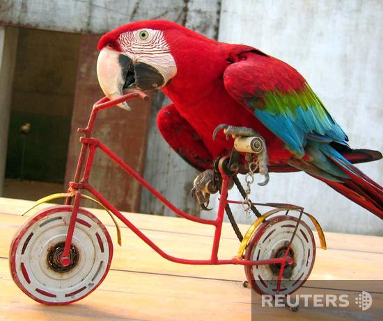 Мой попугай очень талантливый (в плане болтливости), но весьма своеобразная птица.