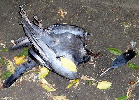 дохлый голубь.