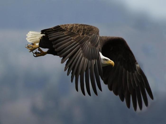 Животные. орел, крыло, взгляд скачать обои...