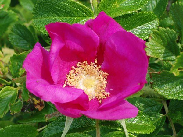 Цветок спящей красавицы шиповник