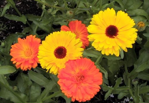 calendula-flowers (518x359, 33Kb)