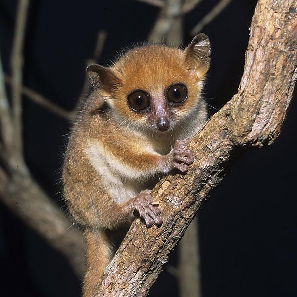 madame_berthe_mouse_lemur1 (600x600, 90Kb)