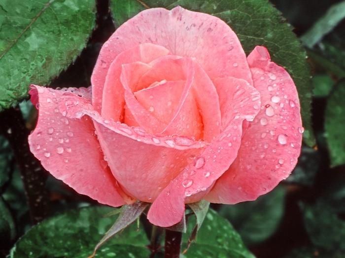 роза11 (700x525, 271Kb)