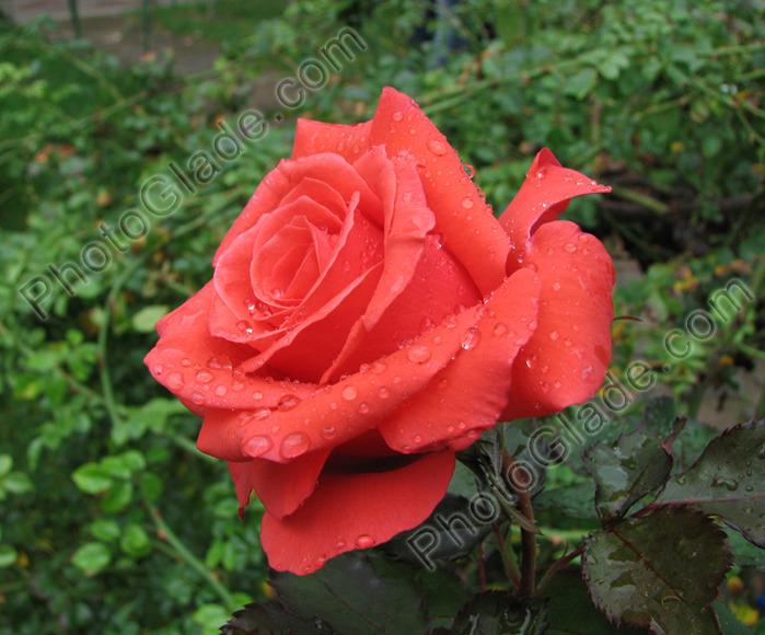 роза6 (700x580, 143Kb)