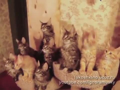Синхронизация ушастых котят мейн кунов. 3518263_11241439 (480x360, 27Kb)