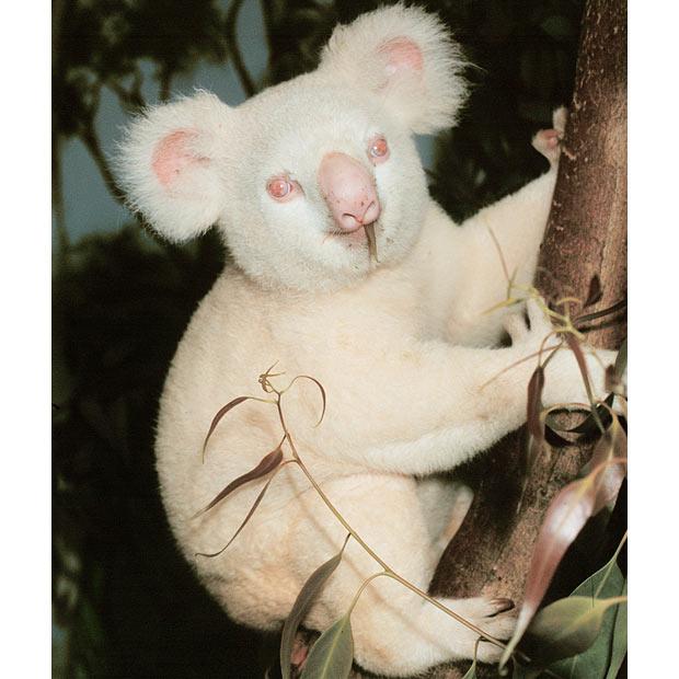 albino_koala (620x620, 64Kb)