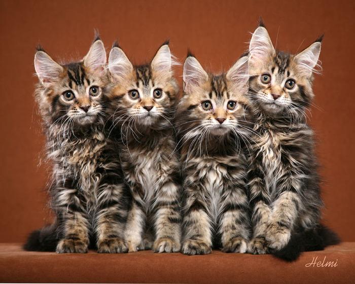 Коты обычно крупнее кошек. Кошки мейнкуны исключительно заботливы и