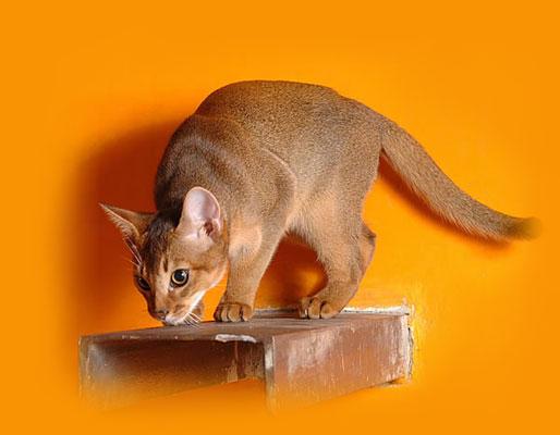 Абиссинская (Abyssinian) - Кошки этой породы напоминают статуэтки котов Древнего Египта.