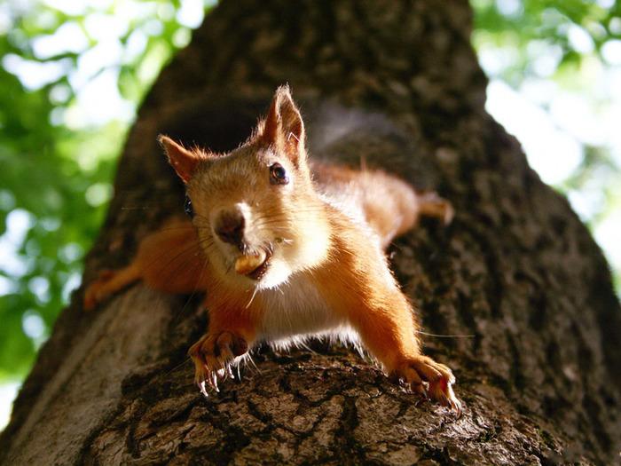 Fox_Squirrel_belka_zveri_ru (700x525, 135Kb)