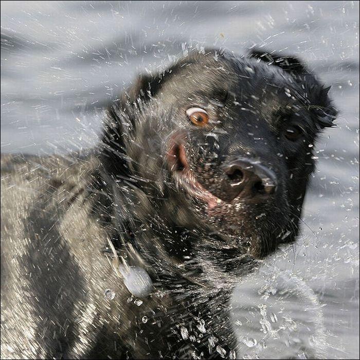 dog-shaking-06 (700x700, 113Kb)
