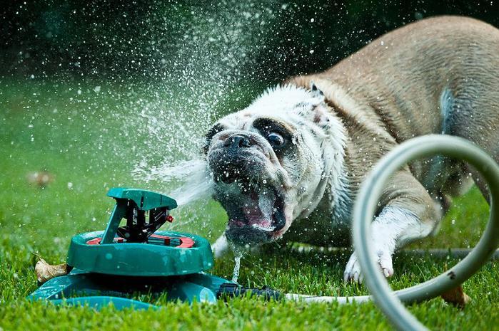 dogs-vs-sprinklers-03 (700x465, 86Kb)