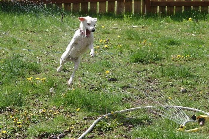 dogs-vs-sprinklers-04 (700x468, 106Kb)