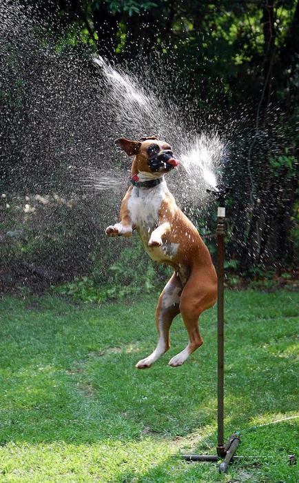 dogs-vs-sprinklers-08 (434x700, 422Kb)