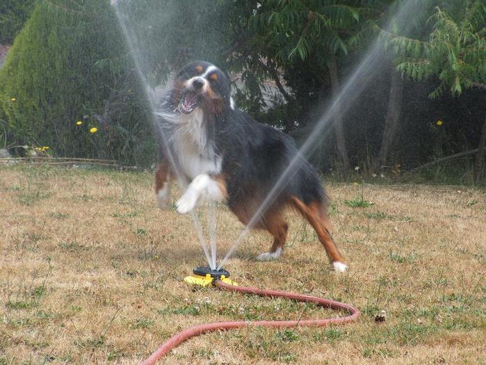 dogs-vs-sprinklers-12 (700x525, 80Kb)