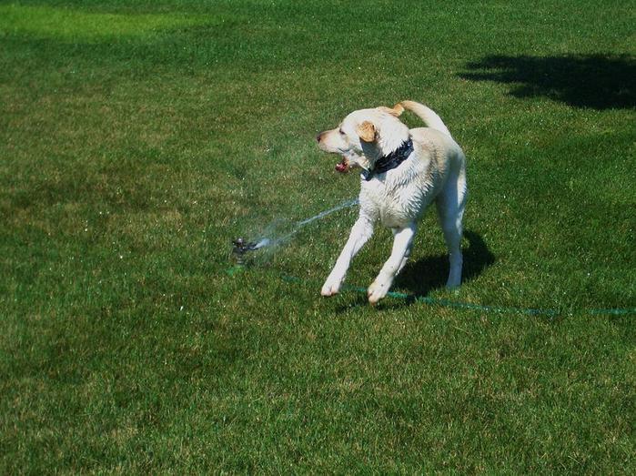 dogs-vs-sprinklers-14 (700x523, 88Kb)