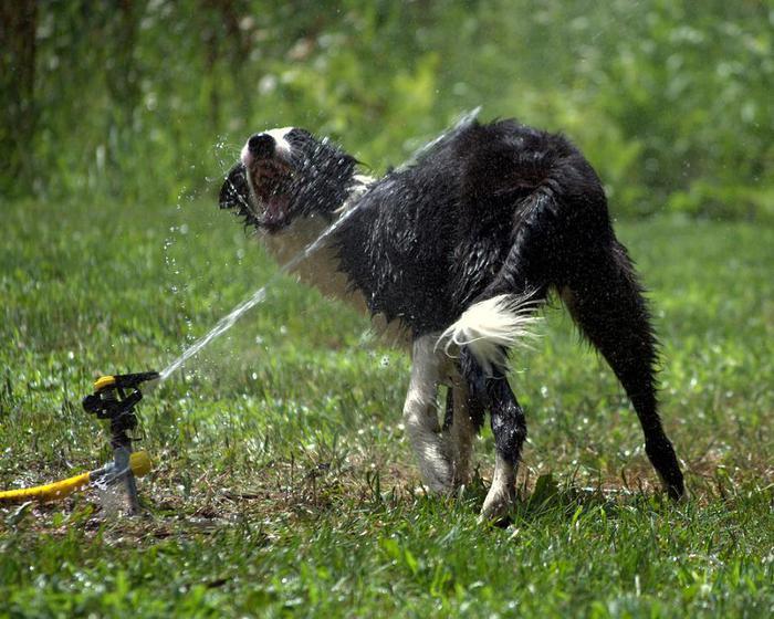 dogs-vs-sprinklers-19 (700x560, 78Kb)