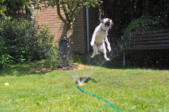 dogs-vs-sprinklers-21 (700x466, 96Kb)