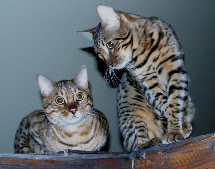 1253536597_two_bengal_cats_edit (700x552, 137Kb)