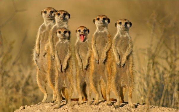 meerkat (604x378, 45Kb)