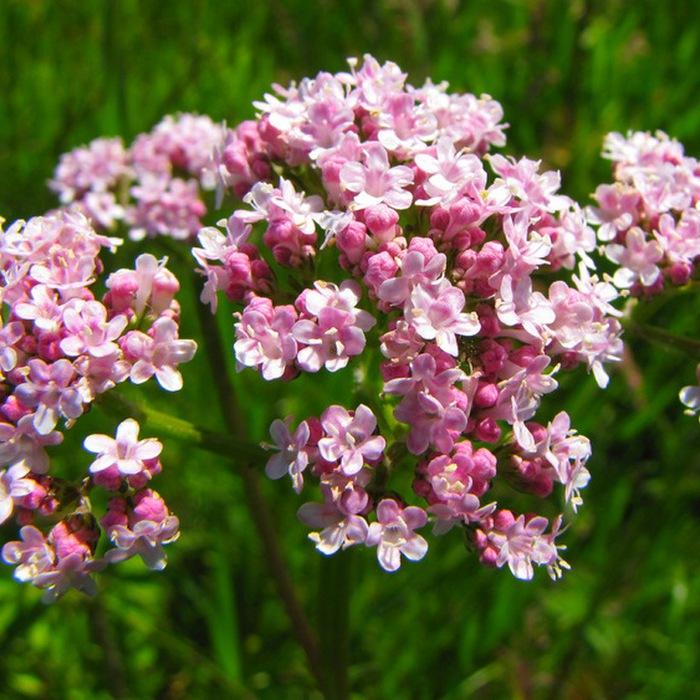 Valerianaofficinalis (700x700, 159Kb)