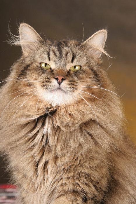 сибирская кошка (466x700, 99Kb)