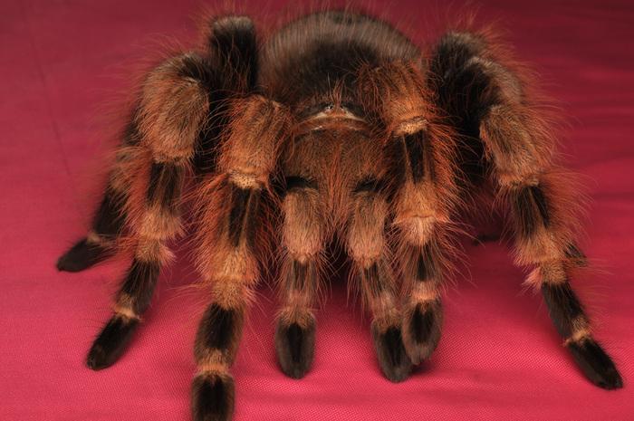 Олег, но не нравится админам слово паук - птицеед.
