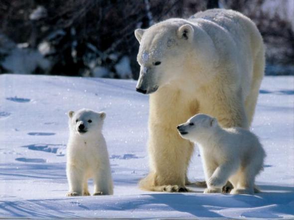 белый медведь (590x442, 32Kb)
