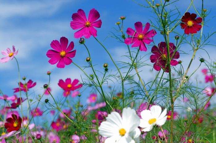 Картинки космеи цветка