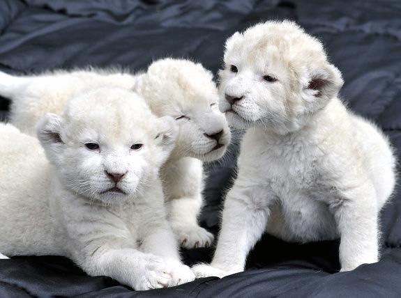 3437689_gal_lion_cubs3 (575x428, 96Kb)
