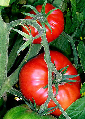 275px-Tomatoes-on-the-bush (275x384, 48Kb)