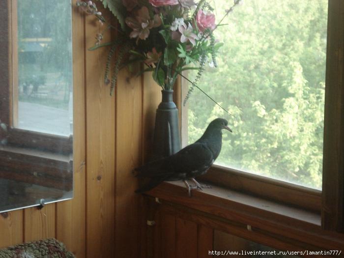 примета на балкон прилетели голуби активированная вода прорыв