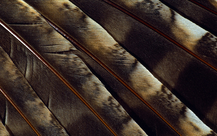 Colorful Feathers and Wing Wallpapers (3) (700x437, 166Kb)