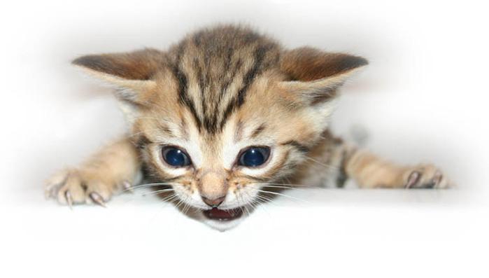 kitten1 (700x397, 47Kb)