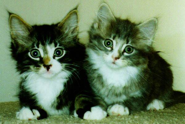 Pictures_of_Kittens_Cats-Kittens_Tabby (600x403, 33Kb)