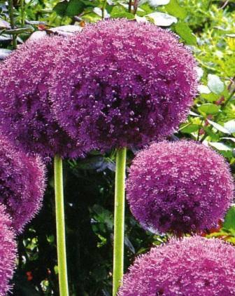 Цветущий в середине лета декоративный лук отлично смотрится в