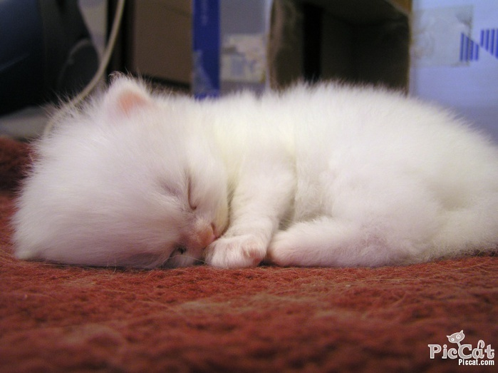 cute_white_kitten (700x523, 96Kb)
