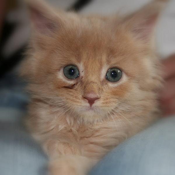 kitten_254 (600x600, 29Kb)