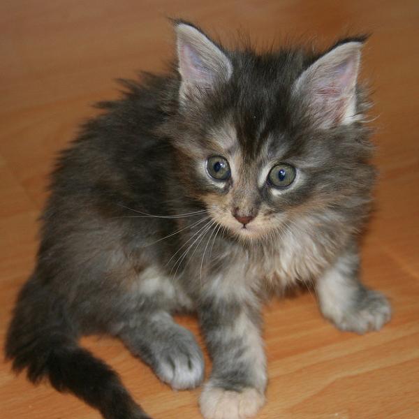 kitten_886 (600x600, 39Kb)