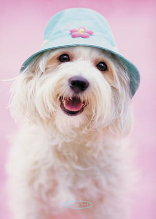 lgpp30235+cindy-the-yorkshire-terrier-with-hat-rachael-hale-poster (320x450, 26Kb)
